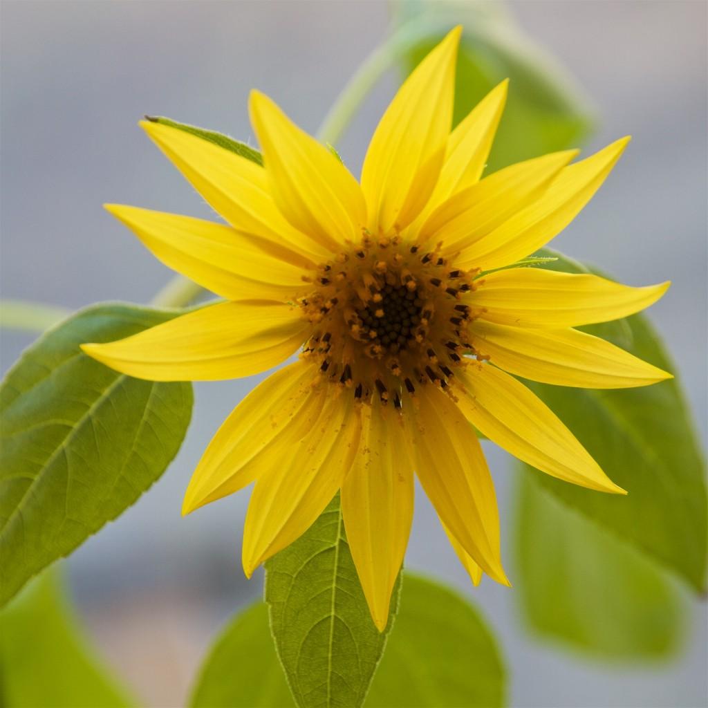 Sonnenblumenhack
