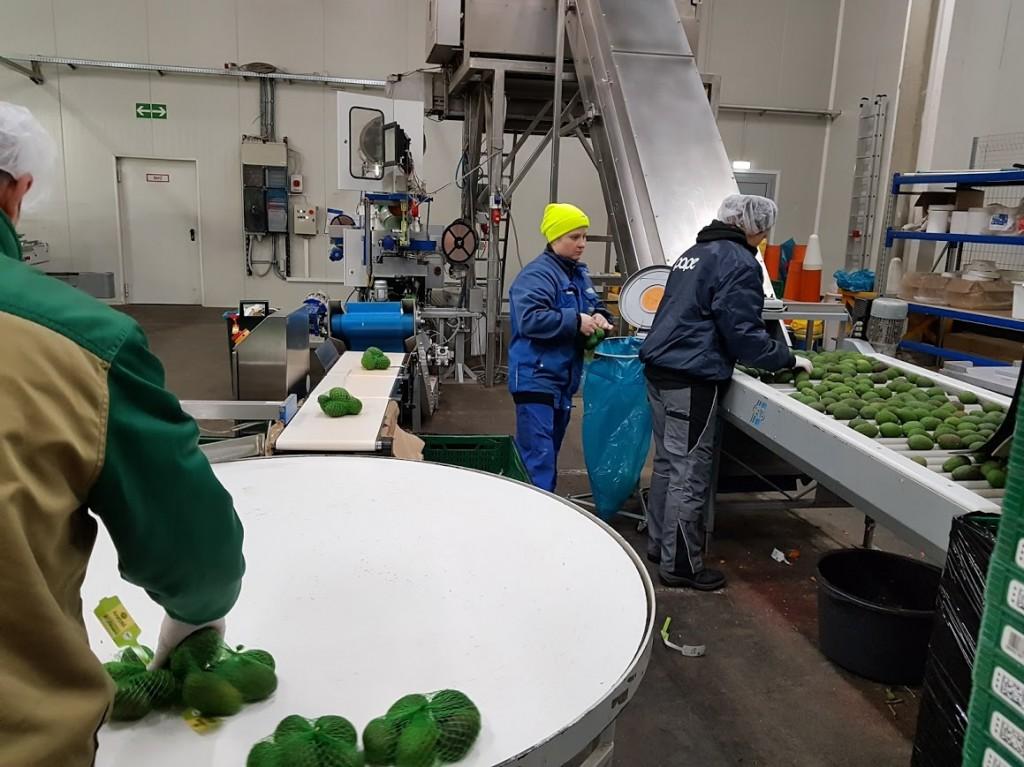 avocado sortieren